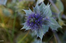 sea_holly_by_parallel_pam-d9e7hfi